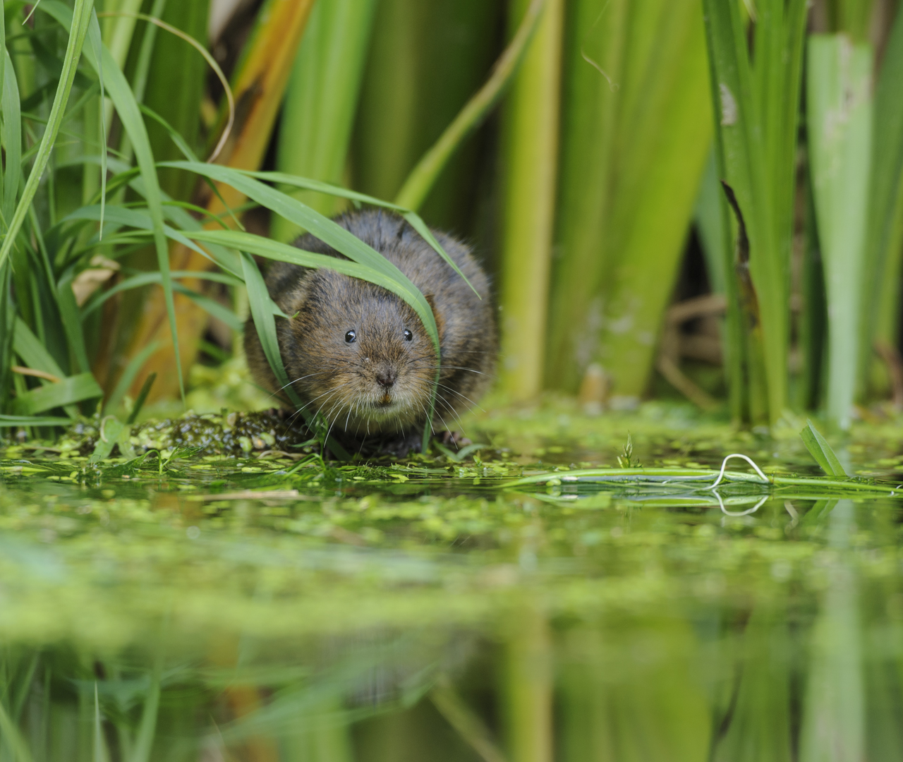 Water Vole - Image Credit: Terry Whittaker / 2020 Vision